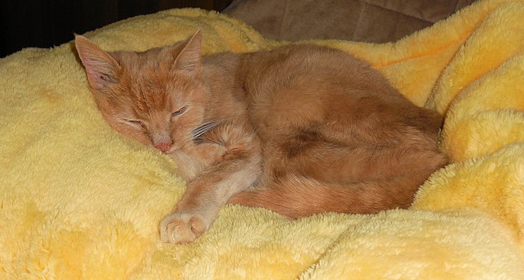Gigi, my buff-colored tabby, sleeps on one of her favorite blankets.