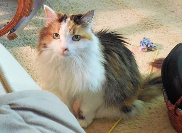Kimmi was my beautiful medium-haired calico with a pink now and long whiskers.