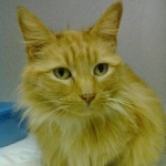 Ginger is a long-haired orange tabby.