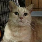 Lilith is a sweet faced buff tabby cat.
